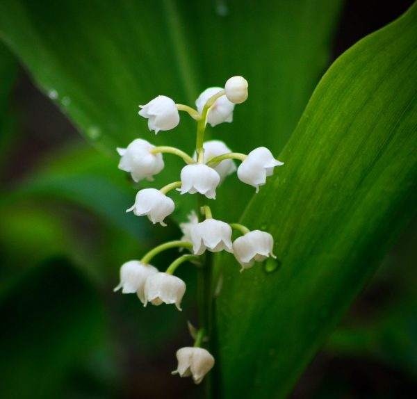 """Bordeaux """"Lily of the Valley"""""""