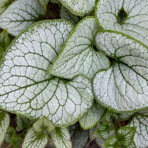 """Jack Frost"" Heartleaf Brunnera"