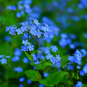 """Bluesylva"" Forget-me-not Myosotis"