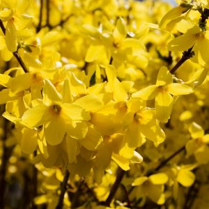 yellow forsythia closeup