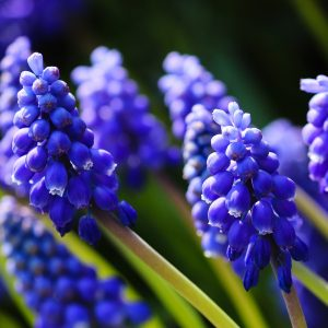 Field of Grape Hyacinth blue