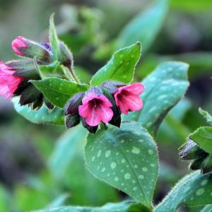 Pretty in Pink Lungwort flowers