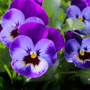 purple spring pansies