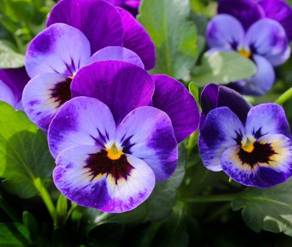 purple spring pansies