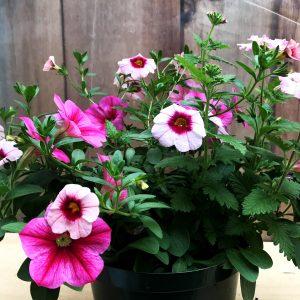 Trixi 3 in 1 Calibrachoa, Petunia, Verbena