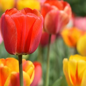 color veriaty Tulips