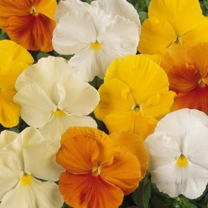 PANSY MATRIX CITRUS MIX