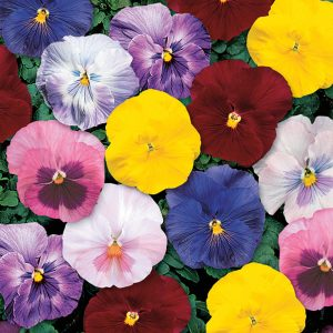PANSY MONET MIX