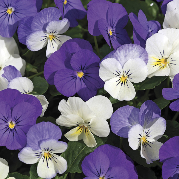 Viola Penny Winter Mix