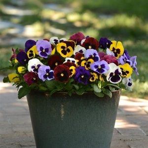 Pansy Matrix Blotch Mix