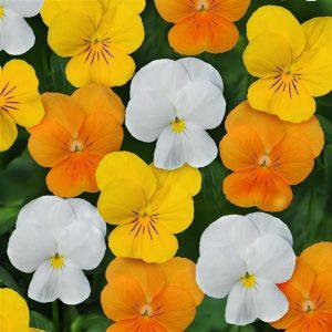 Viola Sorbet Citrus Mix
