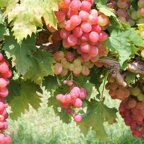 Victoria Red Grape-staked
