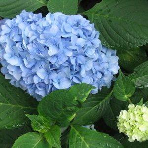 Nantucket Blue(Tm) Hydrangea
