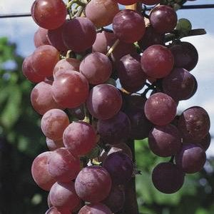 Flame Red Seedless Grape Ladder