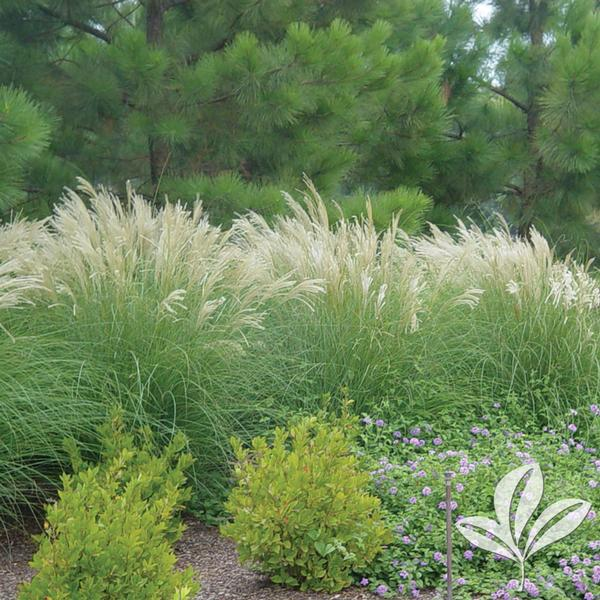 Adagio Maiden Grass