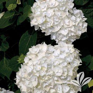 End Summer Blushing Bride Hydrangea