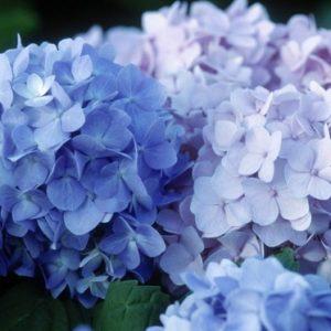 Endless Summer(R) Hydrangea The Original